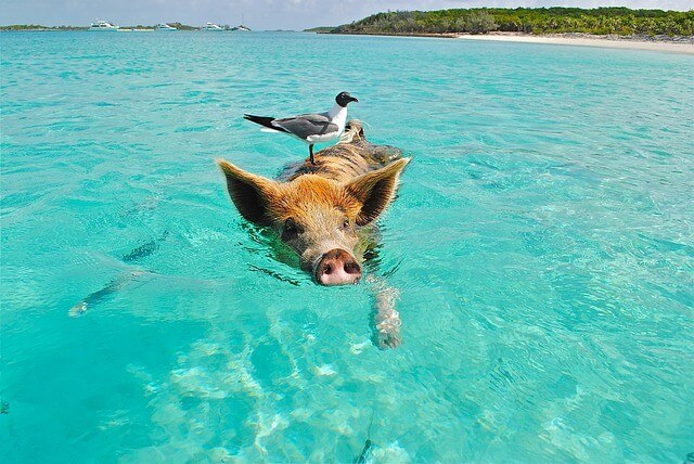 Swimming with the pigs-Bahamas